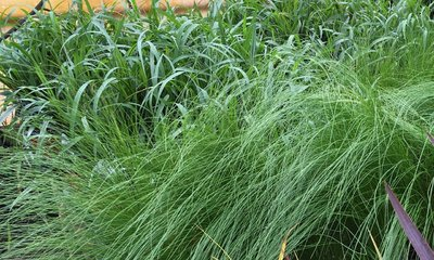 Pony Tail Grass  Stipa - Thriller